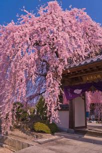 臨済宗妙心寺派天真山周林禅寺の樹齢約120年の雪洞桜の写真素材 [FYI03842473]