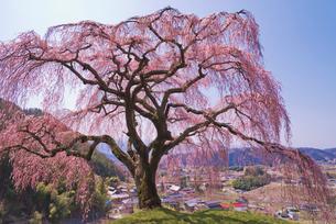 乙ヶ妻(おっかづま)のシダレザクラ樹齢150年~200年の写真素材 [FYI03842476]