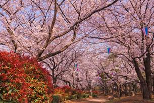 飛鳥山公園の桜と歩道 徳川吉宗享保の改革 日本最初の公園の写真素材 [FYI03842561]