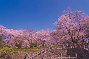 飛鳥山公園の桜 徳川吉宗享保の改革 日本最初の公園の写真素材 [FYI03842562]