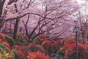 飛鳥山公園の桜 徳川吉宗享保の改革 日本最初の公園の写真素材 [FYI03842563]