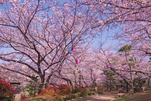 飛鳥山公園の桜と石灯篭 徳川吉宗享保の改革 日本最初の公園の写真素材 [FYI03842565]