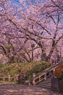 飛鳥山公園の桜 徳川吉宗享保の改革 日本最初の公園の写真素材 [FYI03842567]