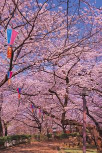 飛鳥山公園の桜と歩道 徳川吉宗享保の改革 日本最初の公園の写真素材 [FYI03842568]