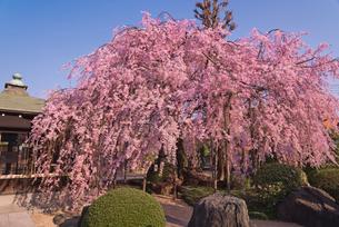 青空に恵明寺1本桜のベニシダレザクラの写真素材 [FYI03842571]