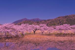 新池に映りこむ桜並木と日本百名山の筑波山の写真素材 [FYI03842588]
