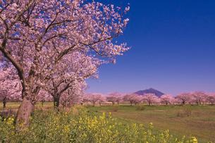 青空に日本百名山の筑波山と桜並木とナノハナの写真素材 [FYI03842595]
