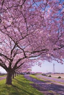 青空に水海道ロードパークの桜並木の写真素材 [FYI03842598]