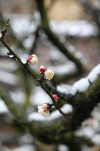 梅の花と雪の写真素材 [FYI03843005]