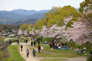 鴨川を散策する人と桜の写真素材 [FYI03843041]