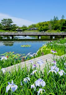 国営昭和記念公園日本庭園のハナショウブの写真素材 [FYI03843997]
