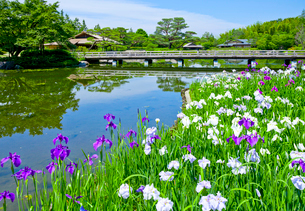 国営昭和記念公園日本庭園のハナショウブの写真素材 [FYI03844001]
