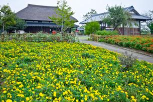 都市農業公園の古民家に咲くマリーゴールドの写真素材 [FYI03844220]