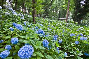 豊島園のあじさい園に咲くアジサイの写真素材 [FYI03844292]