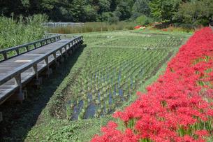 ヒガンバナ咲く神代植物公園の水生植物園と田んぼの写真素材 [FYI03844384]