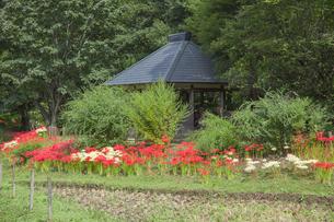 ヒガンバナ咲く神代植物公園の水生植物園の写真素材 [FYI03844386]