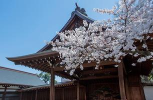 靖国神社神楽殿と桜の標準木のソメイヨシノの写真素材 [FYI03844668]