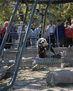 パンダ 北京 中国の写真素材 [FYI03844940]