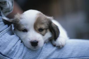 足にもたれる子犬の写真素材 [FYI03846148]