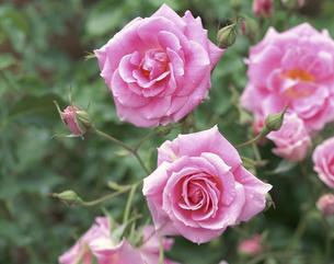 薔薇の写真素材 [FYI03846160]