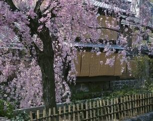 春の祇園の桜(紅しだれ) 京都の写真素材 [FYI03846471]