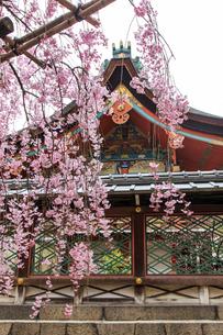 春の御香宮神社 紅しだれ桜の写真素材 [FYI03846582]