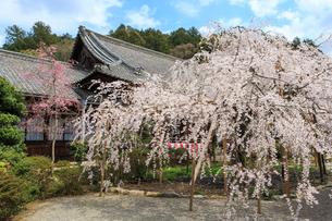 春の毘沙門堂のしだれ桜の写真素材 [FYI03846600]