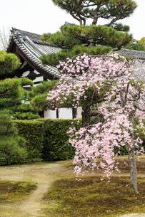 春の随心院 紅しだれ桜の写真素材 [FYI03846607]