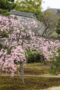 春の随心院 紅しだれ桜の写真素材 [FYI03846608]