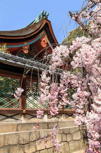 春の御香宮神社の写真素材 [FYI03846625]