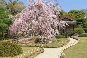 城南宮 桜咲く桃山の庭の写真素材 [FYI03846632]