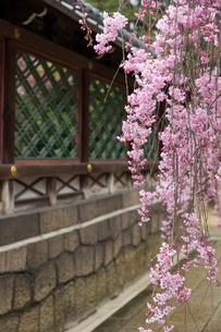 春の御香宮神社 紅しだれ桜の写真素材 [FYI03846738]
