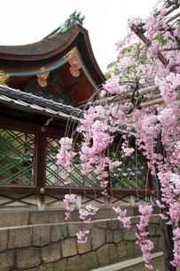 春の御香宮神社 紅しだれ桜の写真素材 [FYI03846741]