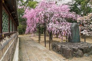 春の御香宮神社 紅しだれ桜の写真素材 [FYI03846747]