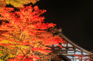 秋の高台寺 ライトアップされる紅葉と庫裏の写真素材 [FYI03846868]