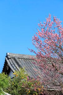 ウメ咲く黄檗山萬福寺龍興院の写真素材 [FYI03846896]