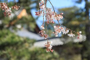 サクラ咲く黄檗山萬福寺の写真素材 [FYI03846981]