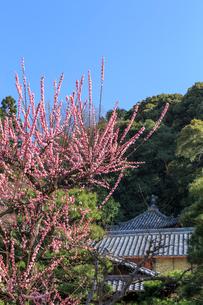 ウメ咲く黄檗山萬福寺龍興院の写真素材 [FYI03846982]