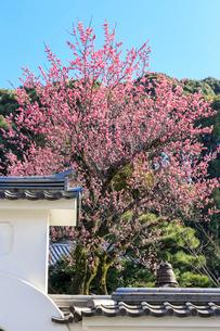 ウメ咲く黄檗山萬福寺龍興院の写真素材 [FYI03846983]