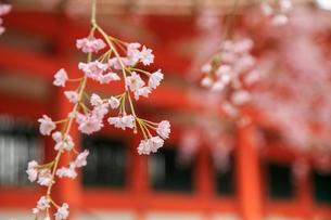 ベニシダレザクラ咲く平安神宮の写真素材 [FYI03846986]
