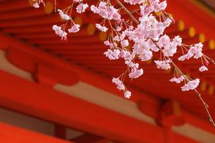 ベニシダレザクラ咲く平安神宮の写真素材 [FYI03846990]
