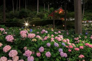 ライトアップされる三室戸寺のアジサイ園の写真素材 [FYI03847050]