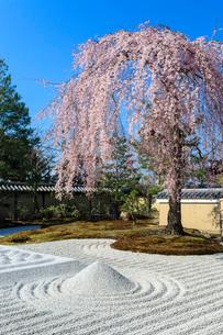 しだれ桜咲く高台寺波心庭の写真素材 [FYI03847156]