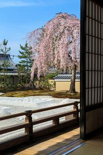 高台寺方丈から見るしだれ桜咲く波心庭の写真素材 [FYI03847159]