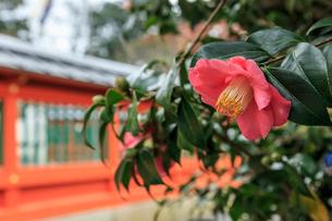 ツバキ咲く毘沙門堂の写真素材 [FYI03847182]
