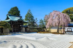 しだれ桜咲く高台寺波心庭と勅使門の写真素材 [FYI03847188]
