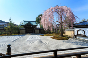 しだれ桜咲く高台寺波心庭と勅使門の写真素材 [FYI03847204]
