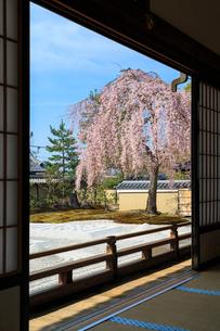 高台寺方丈から見るしだれ桜咲く波心庭の写真素材 [FYI03847205]