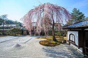 しだれ桜咲く高台寺波心庭と勅使門の写真素材 [FYI03847210]