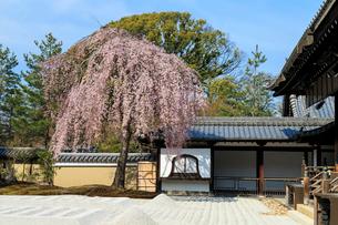 しだれ桜咲く高台寺波心庭の写真素材 [FYI03847211]